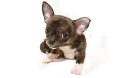 Chihuahua puppy. On white background Stock Photography