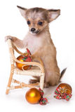 Chihuahua puppy Stock Image