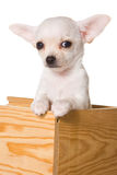 Chihuahua puppy Royalty Free Stock Image
