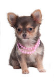Chihuahua puppy Royalty Free Stock Photos
