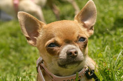 Chihuahua puppy. Brown  chihuahua dog puppy outdoor Stock Photography