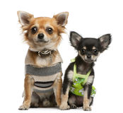 Chihuahua puppy, 2 months old and 1 year old Royalty Free Stock Photo