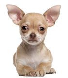 Chihuahua puppy, 2 months old, lying Stock Photos