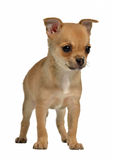 Chihuahua puppy Royalty Free Stock Images