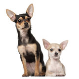 Chihuahua puppy. 3 months old and a 1 year old, sitting against white background Royalty Free Stock Image