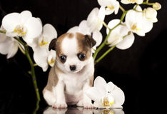 Chihuahua puppy. On a black background next to the orchid flower Stock Photo