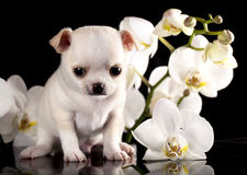 Chihuahua puppy. On a black background next to the orchid flower Stock Photography