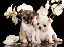 Chihuahua puppy. On a black background next to the orchid flower Stock Images