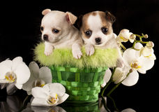Chihuahua puppy. On a black background next to the orchid flower Royalty Free Stock Image