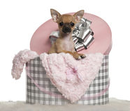 Chihuahua puppy, 3 months old Stock Photography