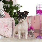 Chihuahua puppy, 3 months old, with Christmas. Tree and gifts in front of white background Stock Photography