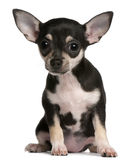 Chihuahua puppy, 3 months old, sitting Royalty Free Stock Photo