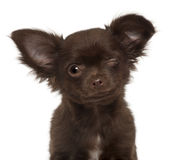 Chihuahua puppy, 3 months old, winking Stock Images