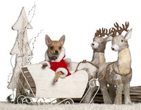 Chihuahua puppy, 4 months old, in Christmas Stock Photography