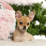 Chihuahua puppy, 4 months old, lying Stock Photography