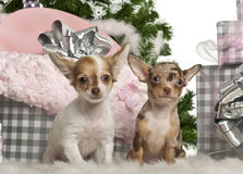 Chihuahua puppy, 4 months old, sitting Royalty Free Stock Photo