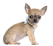 Chihuahua puppy, 4 months old, wearing pearl Royalty Free Stock Photos