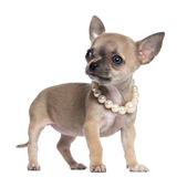 Chihuahua puppy, 4 months old, wearing pearl Stock Photos