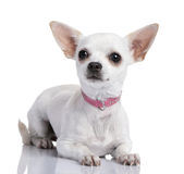 Chihuahua puppy (6 months old) Stock Photos