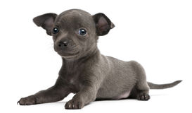 Chihuahua puppy, 6 weeks old, lying. In front of white background Royalty Free Stock Photo