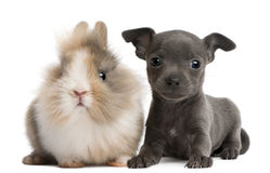 Chihuahua puppy, 6 weeks old, and rabbit. In front of white background Royalty Free Stock Images