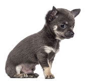 Chihuahua puppy, 7 weeks old, sitting Royalty Free Stock Image