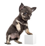 Chihuahua puppy, 7 weeks old, standing Stock Photos