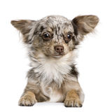Chihuahua puppy, 8 months old Royalty Free Stock Image