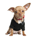 Chihuahua puppy (8 mounths). In front of a white background Stock Photography