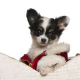 Chihuahua puppy, 9 weeks old, in Christmas Stock Photo