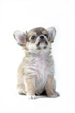 Chihuahua puppy. In studio Royalty Free Stock Images
