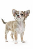 Chihuahua puppy. Standing and looking up isolated on white Royalty Free Stock Photo