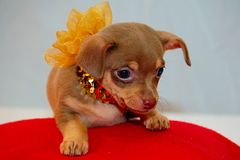 Chihuahua Puppy all dazzled up. Chihuahua all dazzled up royalty free stock photos