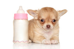 Chihuahua puppy and baby bottle Stock Images