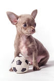 Chihuahua puppy with ball. Tiny Chihuahua puppy with ball isolated on white background Stock Images