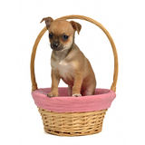 Chihuahua puppy in a basket Royalty Free Stock Images