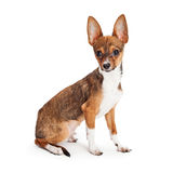 Chihuahua Puppy With Big Ears Stock Image