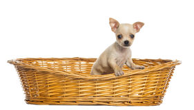 Chihuahua puppy in big wicker basket Stock Photography