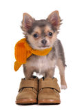 Chihuahua puppy with boots and scarf royalty free stock photos