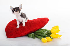 Chihuahua puppy with bouquet of tulips and red heart Royalty Free Stock Photography