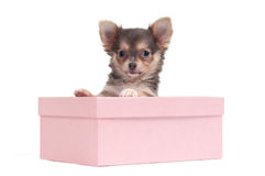 Chihuahua puppy in a box Stock Photo