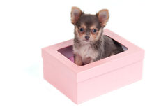 Chihuahua puppy in a box Stock Image
