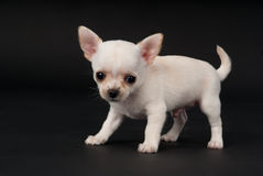 Chihuahua puppy boy playing in Studio Royalty Free Stock Photography