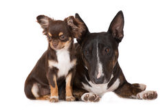 Chihuahua puppy with a bull terrier dog Stock Images