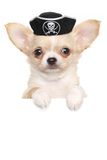 Chihuahua puppy in carnival pirate hat Stock Image