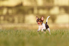 Chihuahua , Puppy Chihuahua . royalty free stock images
