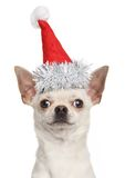 Chihuahua puppy in Christmas red hat Royalty Free Stock Photography