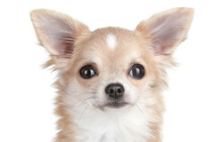 Chihuahua puppy close-up portrait Royalty Free Stock Images