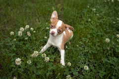 Chihuahua Puppy in Clover. Young chihuahua puppy sitting in the grass and clover looking up with big eyes Royalty Free Stock Images