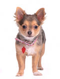 Chihuahua puppy with collar and name tag Royalty Free Stock Photos